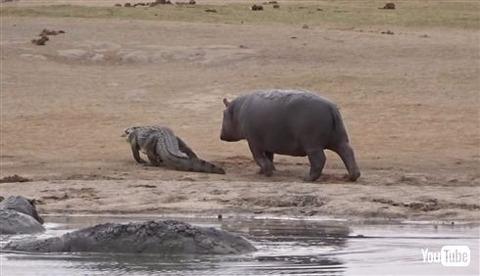 【動画あり】カバ「ワニさん遊ぼー!」迷惑そうなワニさんをよそに5分以上にわたり追いかけ続ける一途なカバさんwwwwwwwwwww