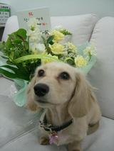 ラテとお花