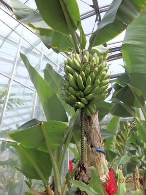 164大船FS 温室バナナ