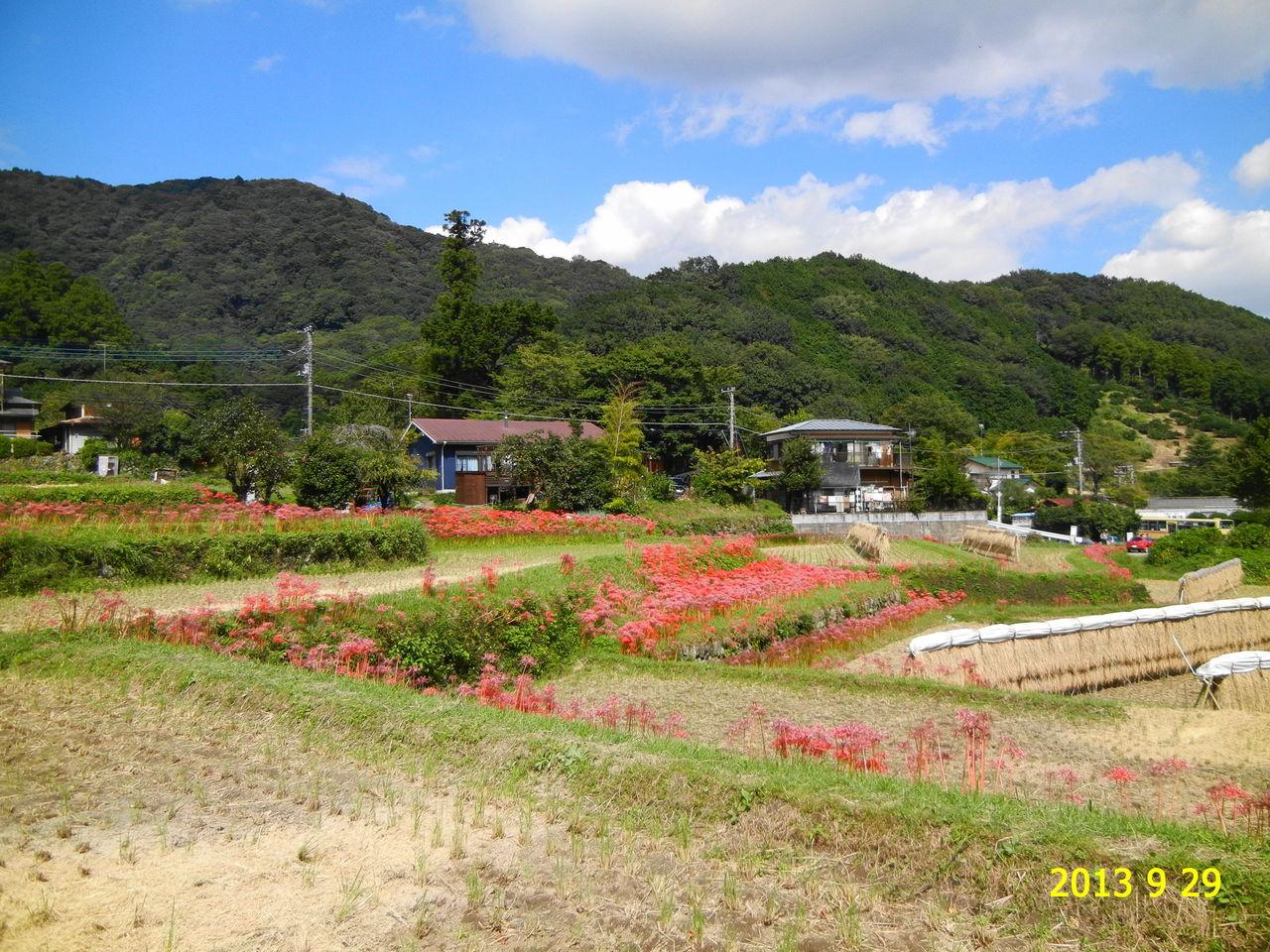 花 を ひ ろ う : 日向薬師のヒガンバナ 神奈川県伊勢原市日向