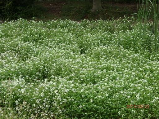 301クレソン花