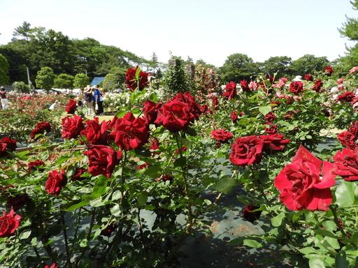 生田緑地ばら苑 065