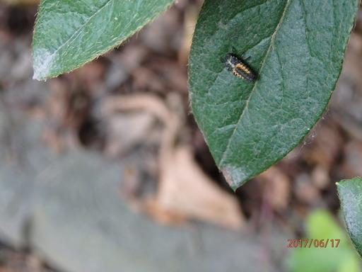 041テントウムシ 幼虫