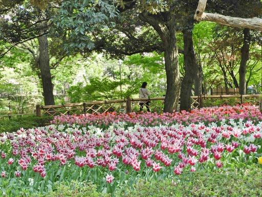 横浜公園 チューリップ 061
