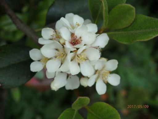 046シャリンバイ 花