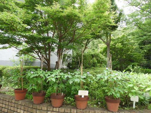 金沢自然公園 036オオセンナリ
