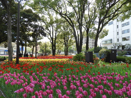横浜公園 チューリップ 032