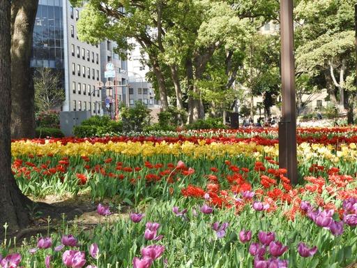 横浜公園 チューリップ 009