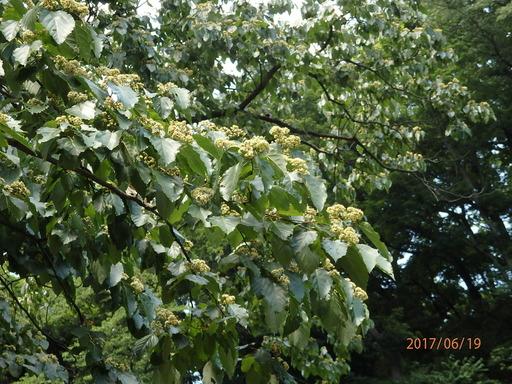 129ケンポナシ 花