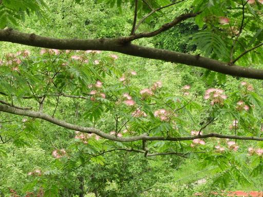 ネムノキ花