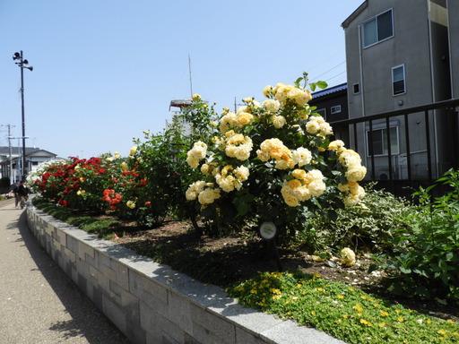 生田緑地ばら苑 011