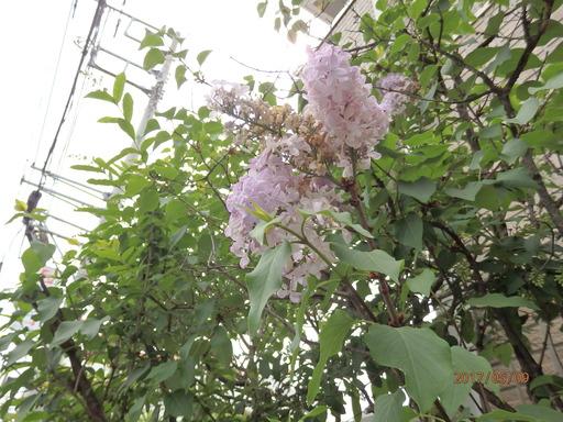 018ライラック花
