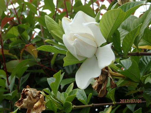 025クチナシ 花
