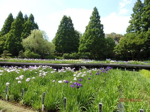 105横須賀しょうぶ園