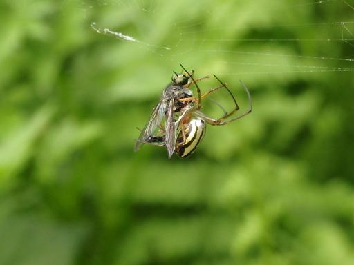163コガネグモがアブを捕獲