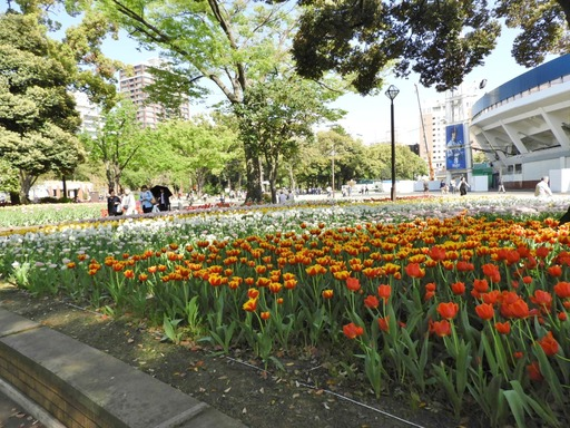 横浜公園 チューリップ 018