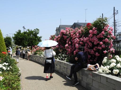 生田緑地ばら苑 002