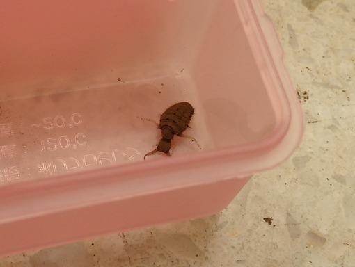 055クサカゲロウ 幼虫