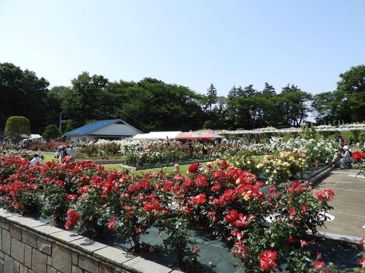 生田緑地ばら苑 079
