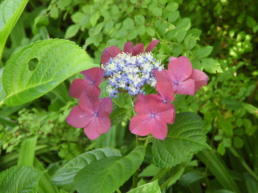 金沢自然公園 059アジサイ
