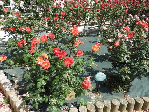 生田緑地ばら苑 075