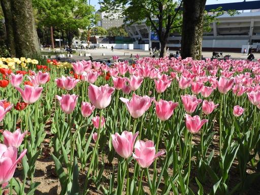 横浜公園 チューリップ 038