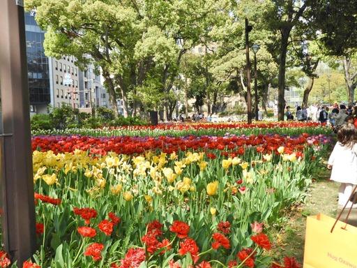 横浜公園 チューリップ 011