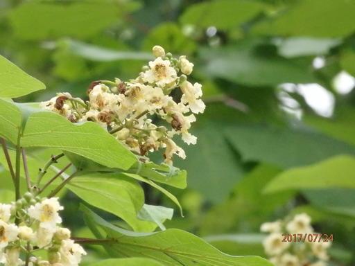 日光東照宮 061キササゲ花