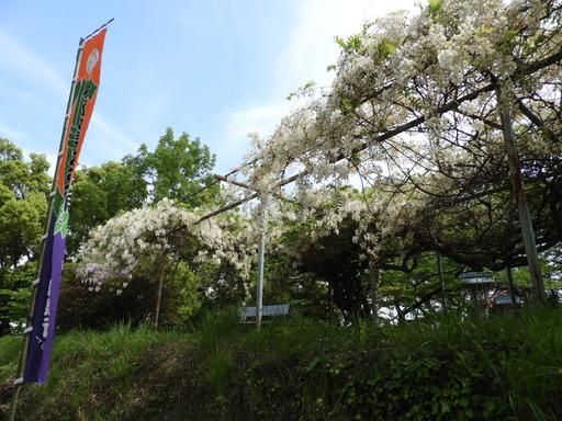 四国 219フジ 白花