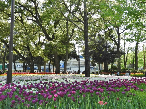 横浜公園 チューリップ 058