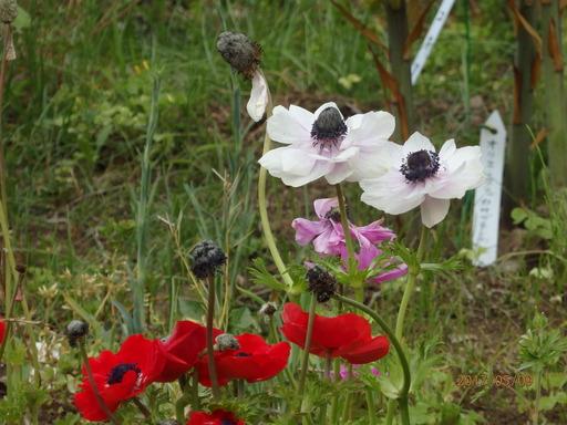 161ポピー赤花 白花