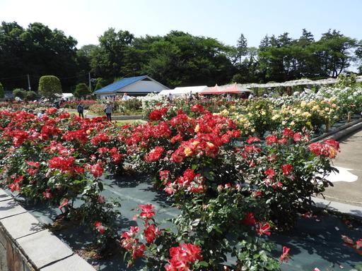 生田緑地ばら苑 082