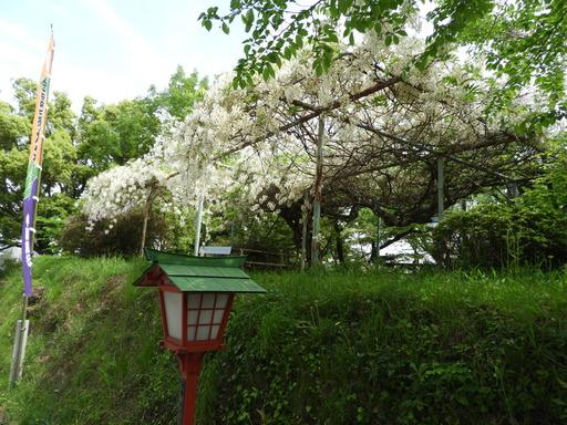 四国 220フジ 白花