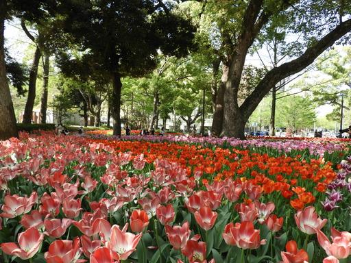 横浜公園 チューリップ 071