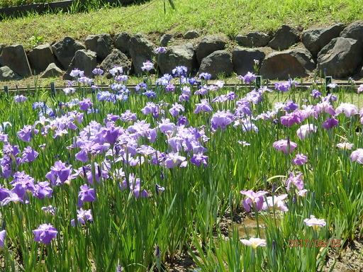 078横須賀しょうぶ園