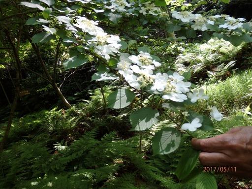 089 ヤブデマリ花