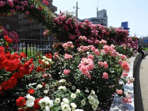 生田緑地ばら苑 005
