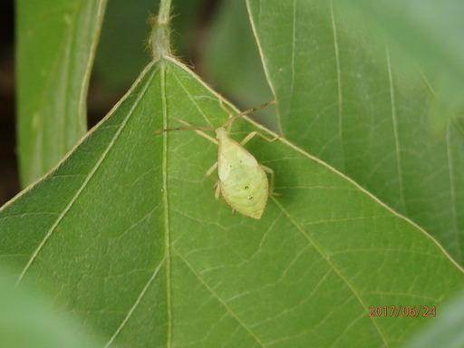 148ホシハラビロヘリカメムシ幼虫