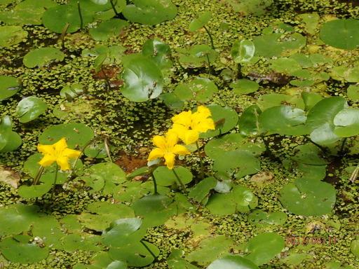 048アサザ 黄色い花