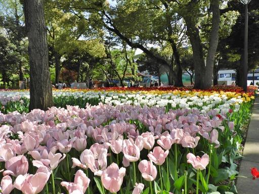 横浜公園 チューリップ 057