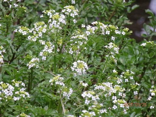 303クレソン花