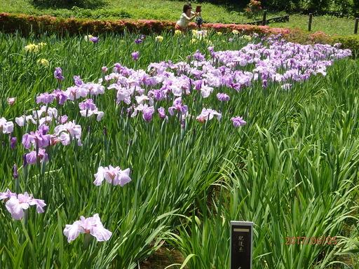 070横須賀しょうぶ園