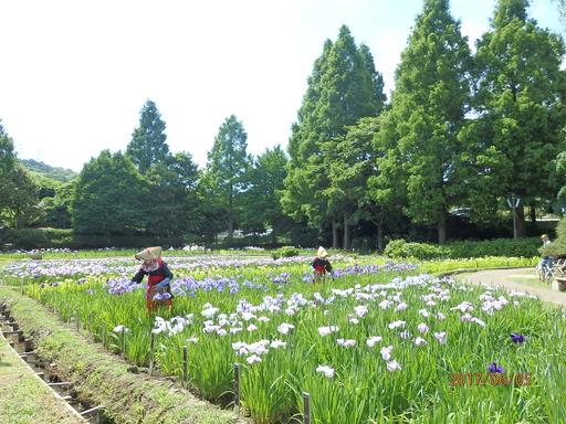 111横須賀しょうぶ園