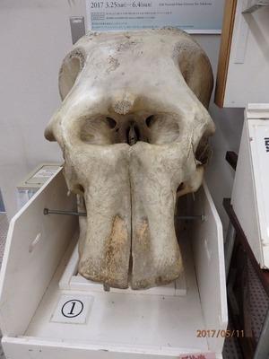 062 インドゾウ頭骨