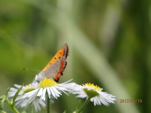 052ベニシジミ 春型