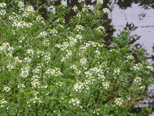 302クレソン花