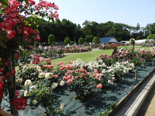 生田緑地ばら苑 069