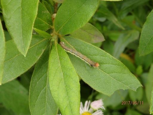229 幼虫 名前不明