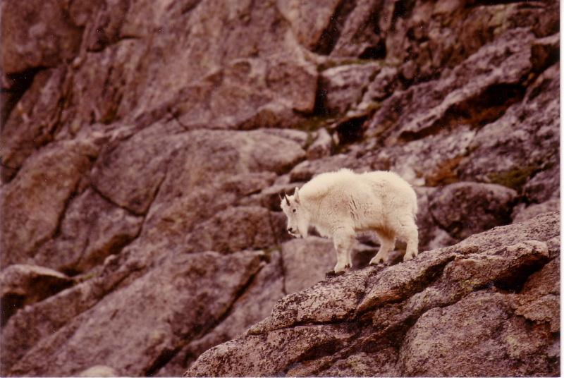 シロイワヤギの画像 p1_2