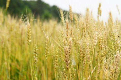 芒種-麦の穂